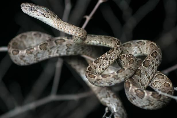 Many-spotted Cat Snake Boiga multomaculata งูแม่ตะงาวรังนก thailand
