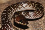 Wolf House Snake (Lycodon capucinus)