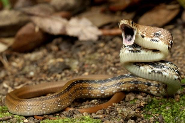 copperhead rat snake racer trinket snake Coelognathus radiatus hong kong