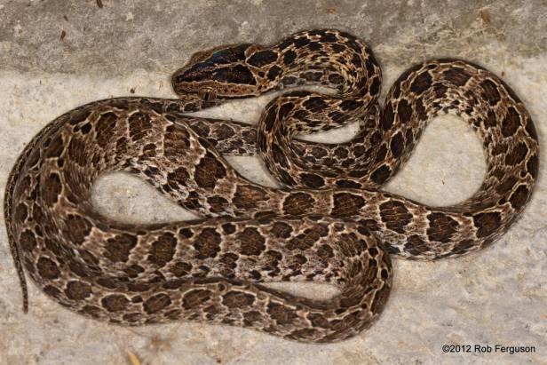 Many-spotted Cat Snake Boiga multomaculata hong kong