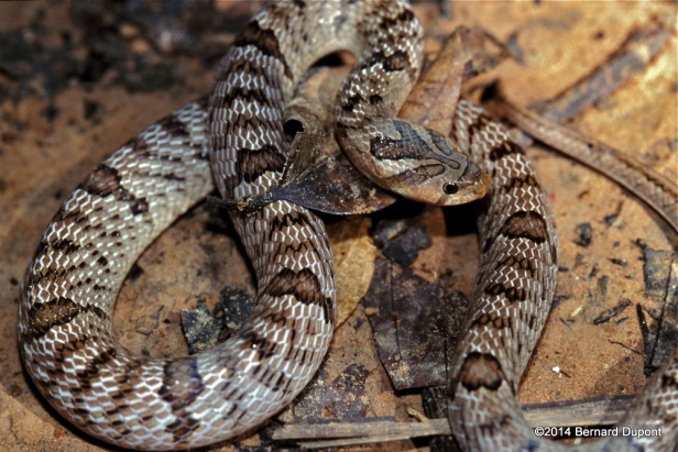 Banded Kukri Snake (Oligodon fasciolatus) khao yai thailand