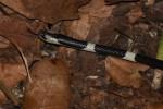 common bridle snake Lycodon davisonii Alex Heimerdinger Nakhon Ratchasima Thailand