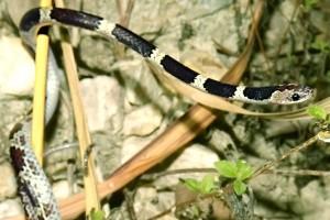 Dryocalamus davisonii Common Bridle Snake Thailand