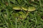 Bamboo Pit Viper Cryptelytrops albolabris