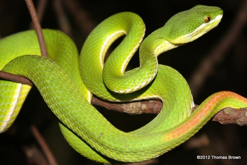 Pit viper snake wallpaper - photo#21