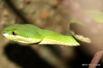 White-lipped Pit Viper Trimeresurus albolabris head shot