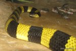 banded krait Bungarus fasciatus about to eat frog lets