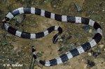 banded krait Bungarus fasciatus