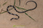 Common Bridle Snake (Dryocalamus davidsonii)