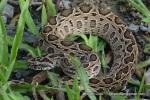 siamese russell's viper Daboia siamensis