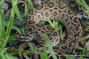 russell's viper Daboia russelii siamensis