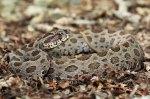 Daboia siamensis siamese Russell's viper thailand