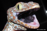 Head shot of Tokay Gecko