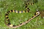 Banded Krait Bungarus fasciatus Bangladesh eating wolf snake