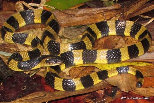 Banded Krait Bungarus fasciatus Bangladesh
