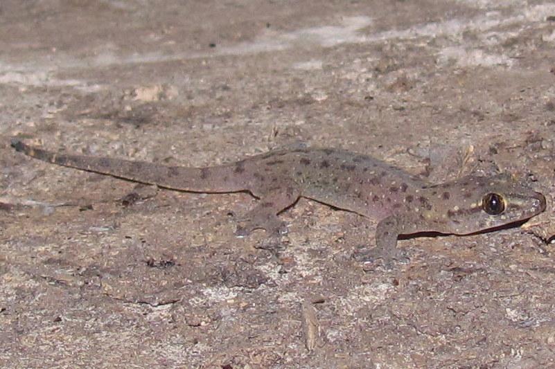 Stump-toed Gecko 06 MAY Gehyra mutilata Chiang Mai