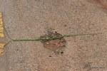 Green Vine Snake Ahaetulla nasuta