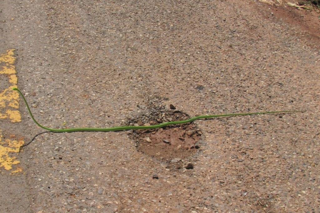 Long-nosed Whip Snake Ahaetulla nasuta green vine snake thailand