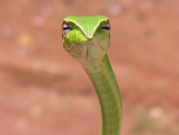 Long-nosed Whip Snake Ahaetulla nasuta common vine snake thailand original skeptical snake judgmental shoelace