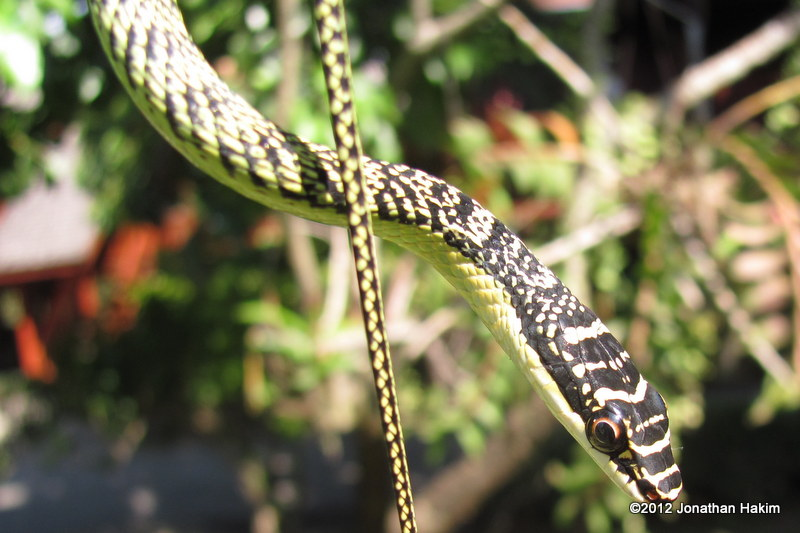 Green Tree Snake Chrysopelea ornata (Flying Snake)