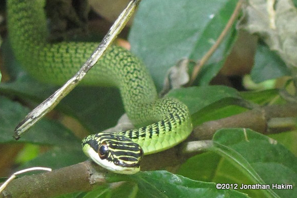 Golden Tree Snake Ornate Flying Snake Chrysopelea ornata เขียวพระอินทร์ thailand chiang mai