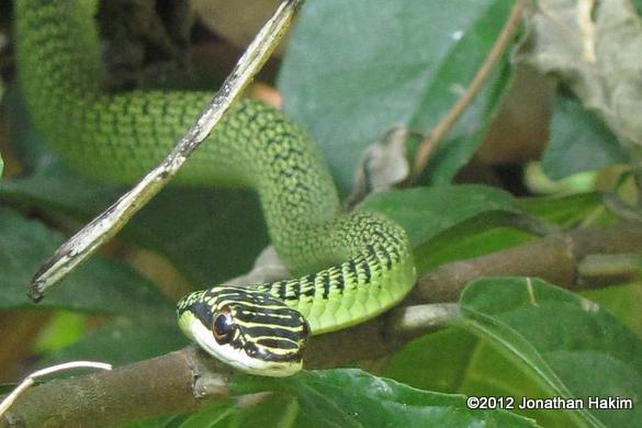 Golden Tree Snake Ornate Flying Snake Chrysopelea ornata เขียวพระอินทร์ thailand chiang mai
