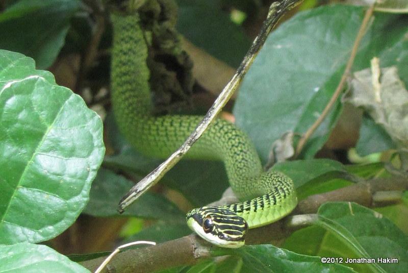Golden Tree Snake Chrysopelea ornata