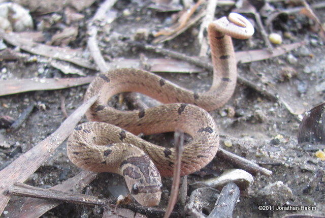 Juvenile Banded Kukri Snake (Oligodon fasciolatus) in defensive position