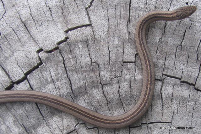 Striped Kukri Snake (Oligodon taeniatus) dorsal stripe