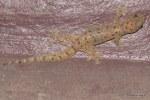 Four-clawed Gecko Gehyra mutilata