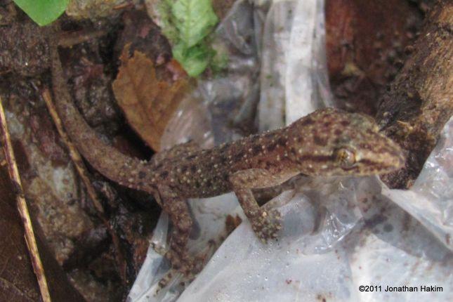 Sri Lankan House Gecko (Hemidactylus parvimaculatus)