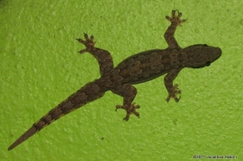 Flattail House Gecko Hemidactylus platyurus on wall