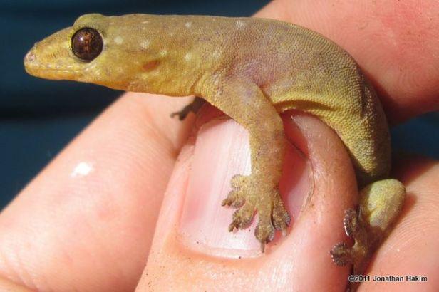 Stub-toed Gecko Gehyra mutilata