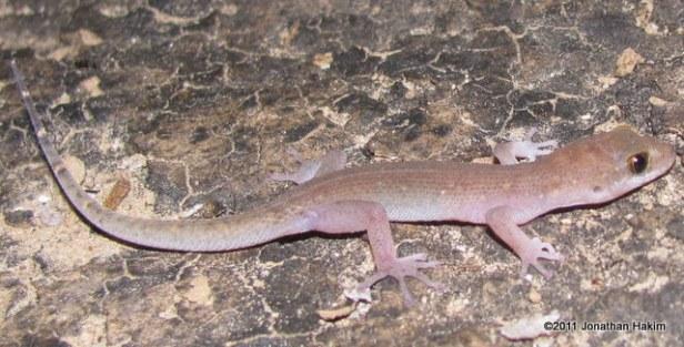 Siamese Leaf-toed Gecko Dixonius siamensis