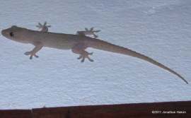 Spinytail House Gecko Hemidactylus frenatus