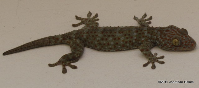 Tokay Gecko Gekko gecko