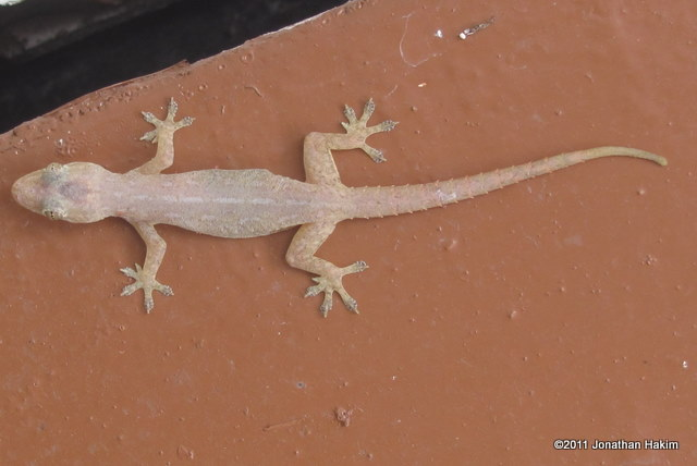 Spiny Tailed House Gecko Reptiles And Amphibians Of Bangkok