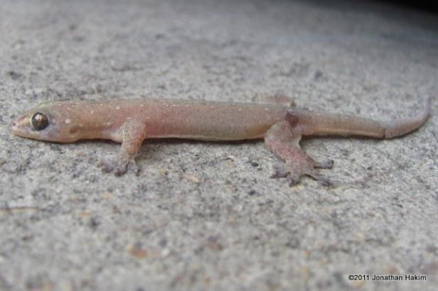 Stump-toed Gecko Gehyra mutilata