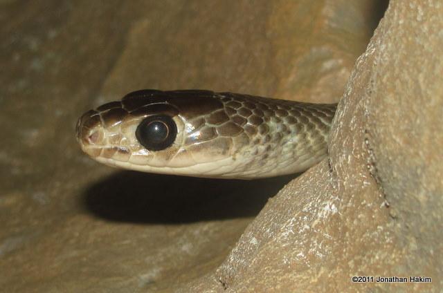 indo-chinese rat snake Ptyas korros