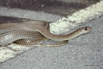 Indo-Chinese Rat Snake (Ptyas korros)