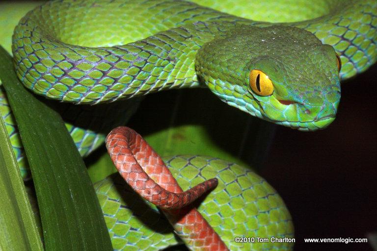 Large-eyed Pit Viper | Reptiles and Amphibians of Bangkok
