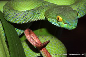 Big-eyed Pit Viper Trimeresurus macrops