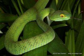 Large-eyed Pit Viper Trimeresurus macrops