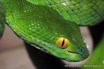 Large-eyed Green Pit Viper Cryptelytrops macrops