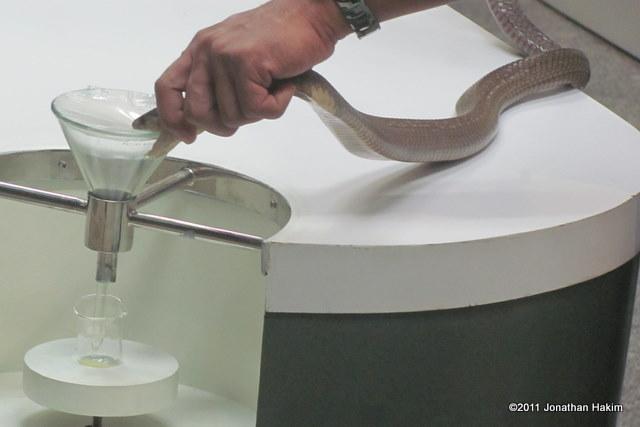 monocled cobra Naja kaouthia milking closeup