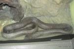 monocled cobra Naja kaouthia Queen Saovabha Snake Farm