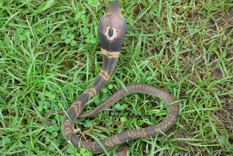 Monocled Cobra – Reptiles and Amphibians of BangkokNaja Kaouthia