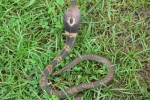 Monocled Cobra Naja kaouthia banded variant