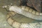 oriental rat snake Ptyas mucosus eating frog