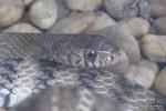 oriental rat snake Ptyas mucosus head shot